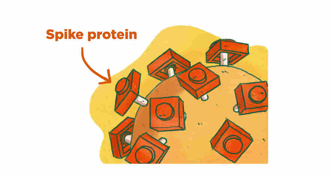 The spike proteins are responsible for infecting human cells.