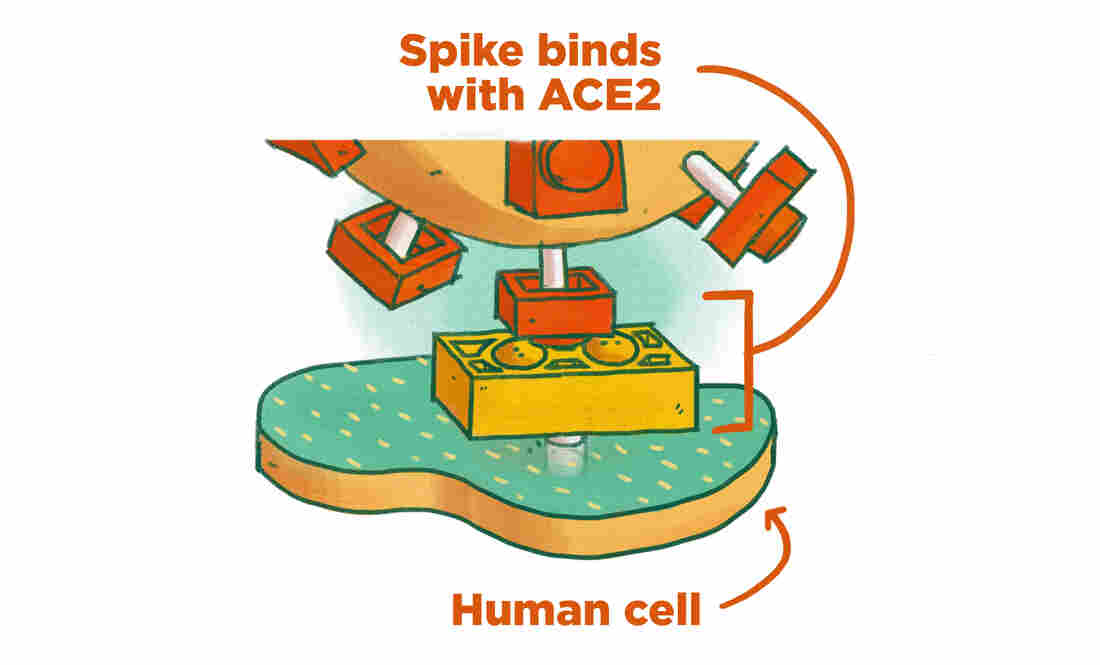The coronavirus' spikes connect with a protein on the outside of our cells called the ACE2. The connection isn't perfect, but enough to allow the virus to enter our cells and multiply.