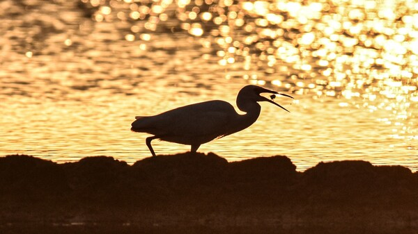 An egret forages at a wetland in Wanning, south China