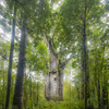 Old trees show when the earth's magnetic field last turned out