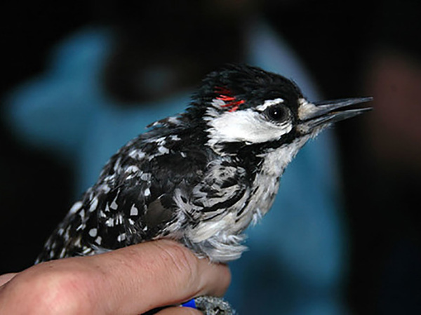 The red-cockaded woodpecker has been listed as endangered for more than half a century.