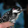 How The Military Helped Bring Back The Red-Cockaded Woodpecker