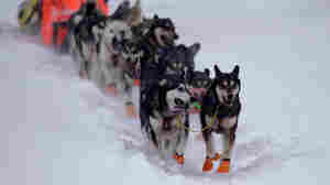 Pandemic Forces Mushers To Adapt To An Already Grueling Iditarod
