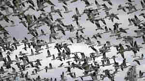 Biden Moves To Make It Illegal (Again) To Accidentally Kill Migratory Birds