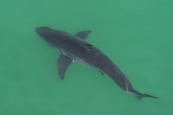 As waters off California warmed during a marine heat wave in 2014, young white sharks moved north, outside their normal habitat.