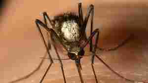 Scientists Find New Invasive Mosquito Species In Florida