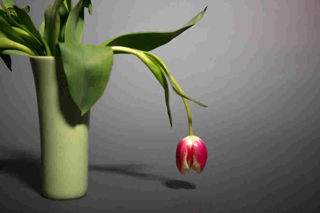 A dark pink tulip in a mint green vase droops, nearly touching the surface that the vase is resting on. The vase sits against a gray backdrop.