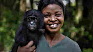 Some Generous Apes May Help Explain The Evolution Of Human Kindness