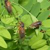 Выводок X: рост 17-летних цикад