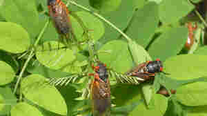 Brood X: The Rise Of The 17-Year Cicadas