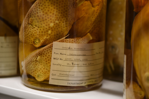 Spotted Trunkfish collected in the US Virgin Islands in 1871.