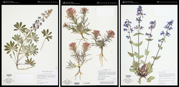 Herbarium specimens are dried plants that are attached to paper for storage. The preparatory applies glue to the specimen, which is then held down by metal weight until the glue dries. Thick parts of the specimen may also be sewn to the sheet with needle and thread.