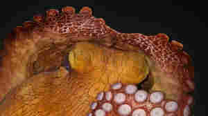 Sleeping Octopuses May Have Dreams, But They're Probably Brief