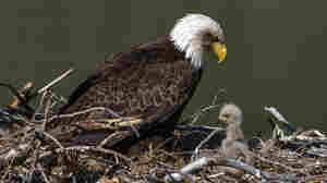 Once Imperiled, America's Bald Eagle Populations Are Soaring