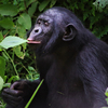 Saving the endangered bonobo teaches a lesson in compassion