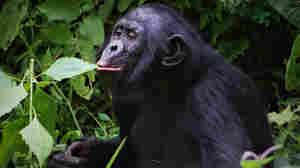 Saving Endangered Bonobos Teaches A Lesson In Empathy