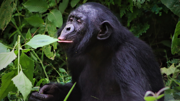 A male bonobo at Lola yo Bonobo sanctuary. Only about 20,000 wild bonobos are left, and they are found only in the central rainforests of the Democratic Republic of the Congo.