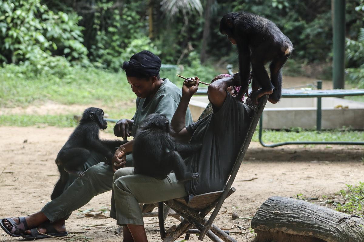 Saving Endangered Bonobos Teaches A Lesson In Empathy : Shots