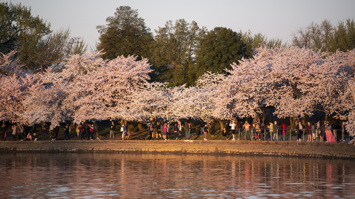 Cherry Blossom Forecast 2018 Washington D C Travel Smithsonian Magazine