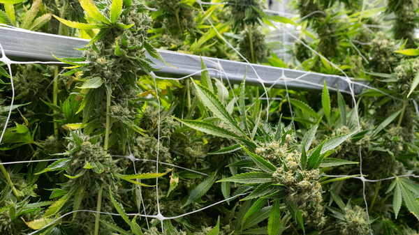 Cannabis plants growing inside a medical marijuana dispensary in Richmond, Va., known as gLeaf. Wednesday, the Virginia legislature voted to pass a bill legalizing recreational marijuana in the state.