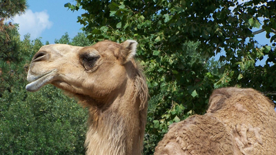 The Curious Case Of The Craigslist Camel