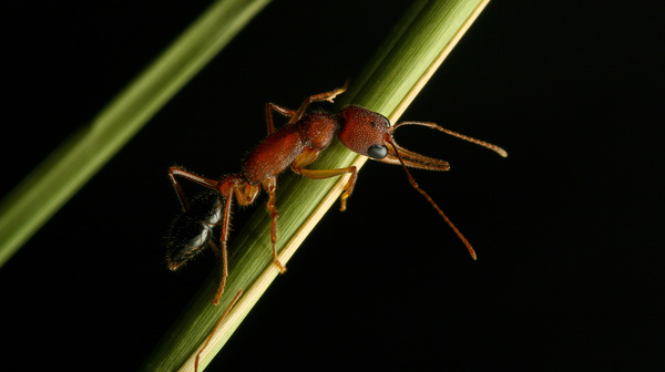 Researchers have shown that the Indian jumping ant can shrink and regrow its brain.