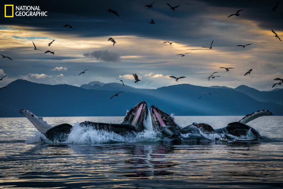 Humpback whales, working in teams, circle herring with disorienting curtains of bubbles off Alaska's coast, then shoot up from below with their mouths open. This innovation developed among unrelated groups of humpbacks but is now a widely adopted practice. (Brian Skerry/National Geographic)