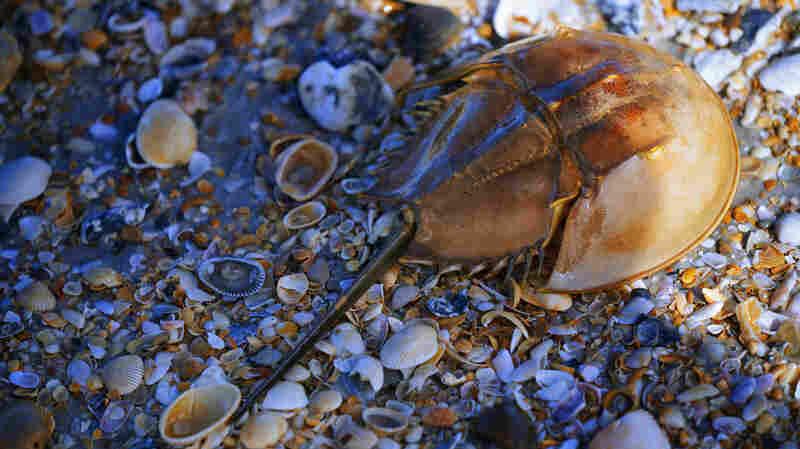 Medicine And The Horseshoe Crab