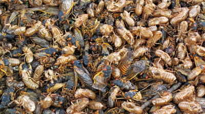 Brood X Cicadas Are Emerging. Here's What You Need To Know