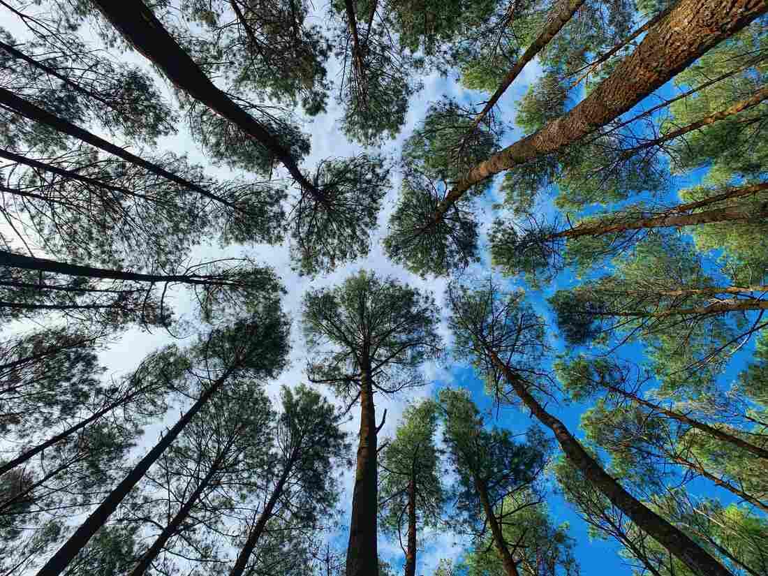 Mangunan Pine Forest, Yogyakarta, Indonesia