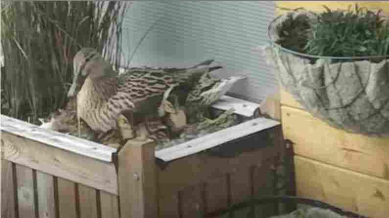 Duck Tales: Man Uses Naval Skills To Get 11 Ducklings Down 9 Stories