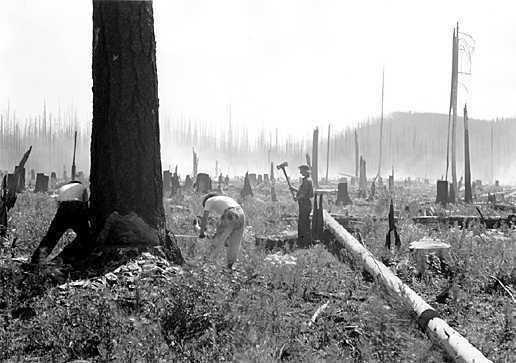 The Civilian Conservation Corps put young men back to work during the Great Depression. Here, CCC members saw down dead trees in a burned area near Belton, Mont.