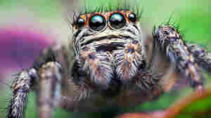 Why Jumping Spiders Spend All Night Hanging Out — Literally