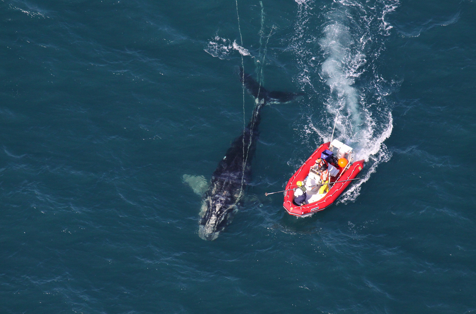 Scientists from NOAA Fisheries Service approach a young North Atlantic right whale in order to disentangle it. New research shows whales with severe entanglements in rope and fishing gear are experiencing stunted growth, and body lengths have been decreasing since 1981. (NOAA News Archive 011811)