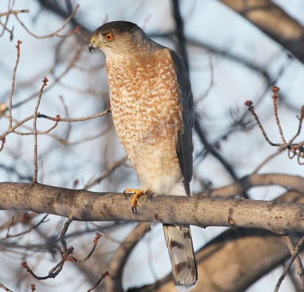 Cooper's Hawk perched on  tree on Feb. 11, 2014, in Ottawa County, Ohio.