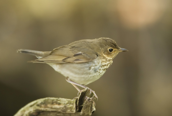 A Swainson's Thrush observed on May 14, 2005, in Lucas County, Ohio.