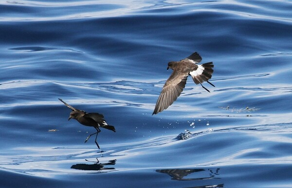 Wilson's Storm-Petrel at the edge of the Gulf Stream east of Cape Hatteras, N.C., on Aug. 8, 2015,
