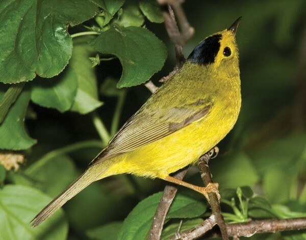 A Wilson's Warbler captured on May 14, 2007, in Lucas County, Ohio.