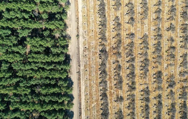 As farmers in California's Central Valley face drought restrictions, some are removing almond trees to reduce water use, especially in aging orchards.