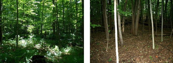 In these images showing two stands of sugar maple trees, the one on the left has not been invaded by Asian crazy worms, and the one on the right has.