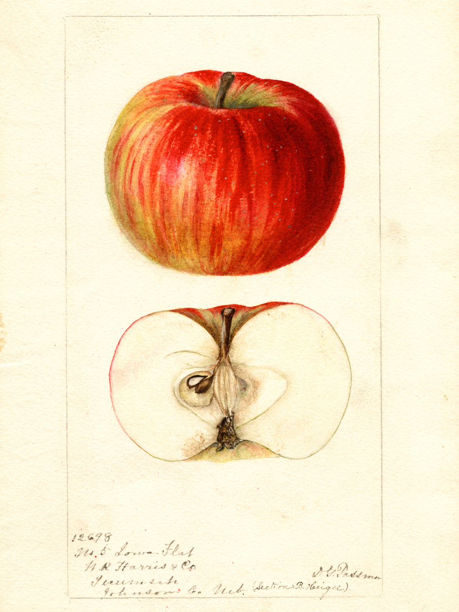 Dave Benscoter rediscovered the Iowa Flat and other apples by finding watercolor paintings like this commissioned by the USDA. (U.S. Department of Agriculture)