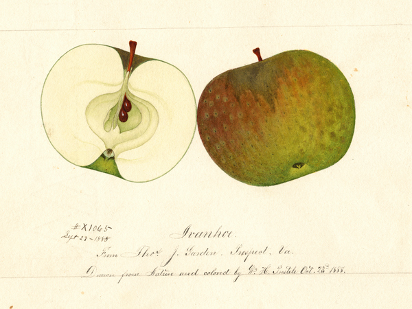 A painting from the USDA pomological watercolor collection depicts a long-lost apple, the Ivanhoe.