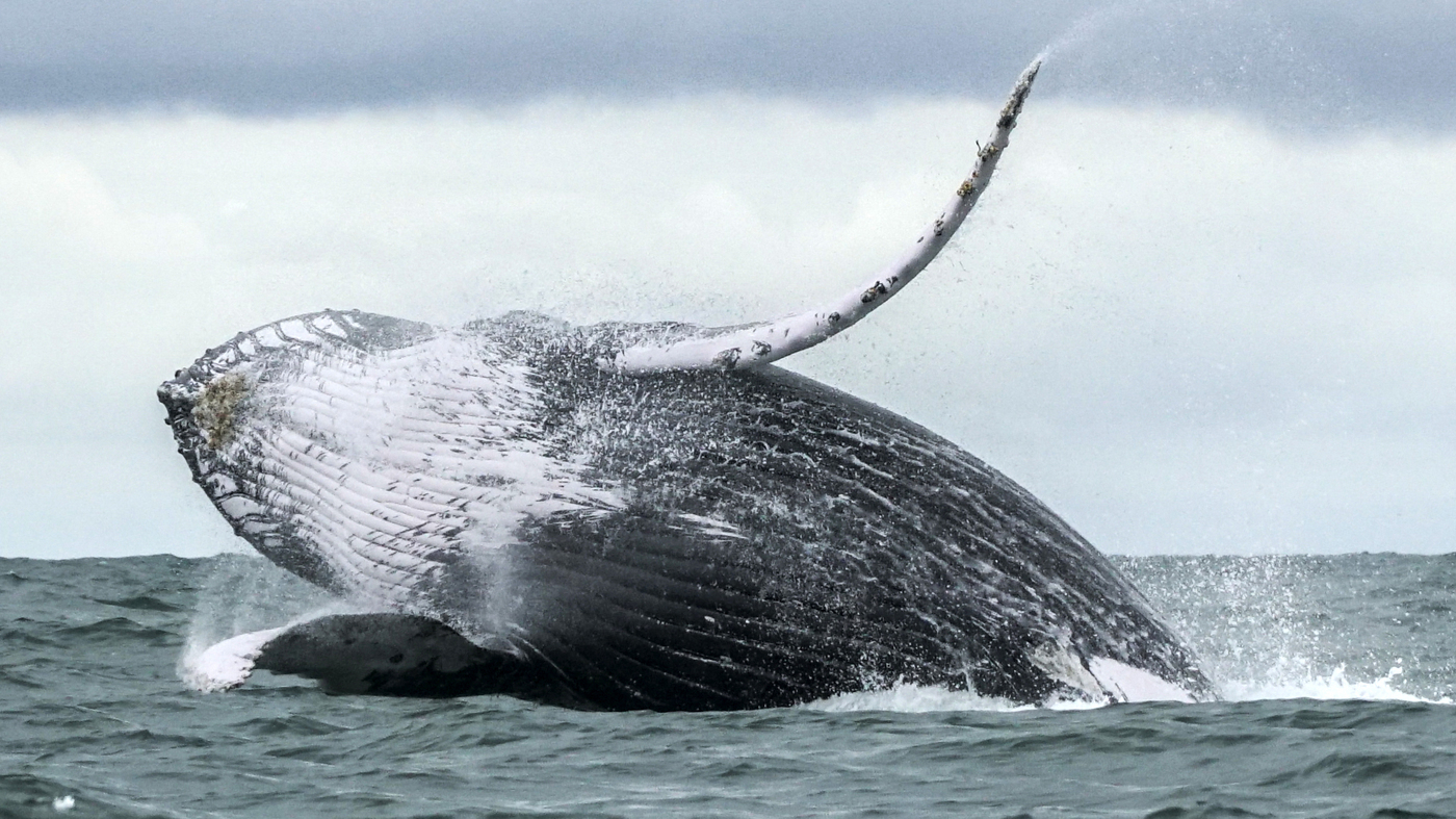 A Lobster Diver In Cape Cod Says A Humpback Whale Scooped Him Up And Spat Him Out thumbnail