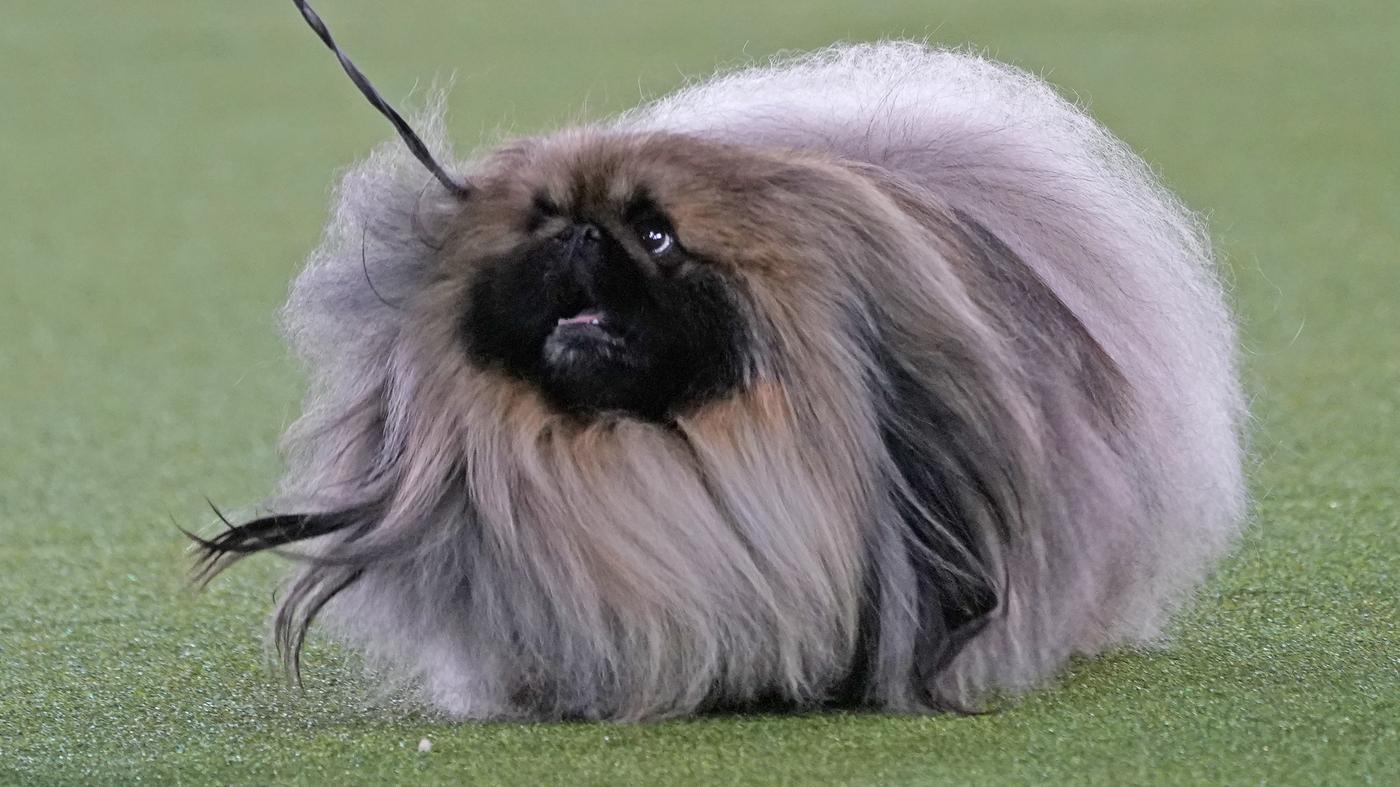 Top Dog! Pekingese Named Wasabi Wins Westminster Show - NPR