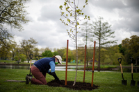 Courtney Blashka, director of community forestry & conservation at Holden Forests & Gardens, tidies up the soil around a newly planted oak tree that's a clone of the tree that Jesse Owens planted.