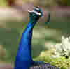 Los Angeles County Wants You To Stop Feeding The Feral Peacocks