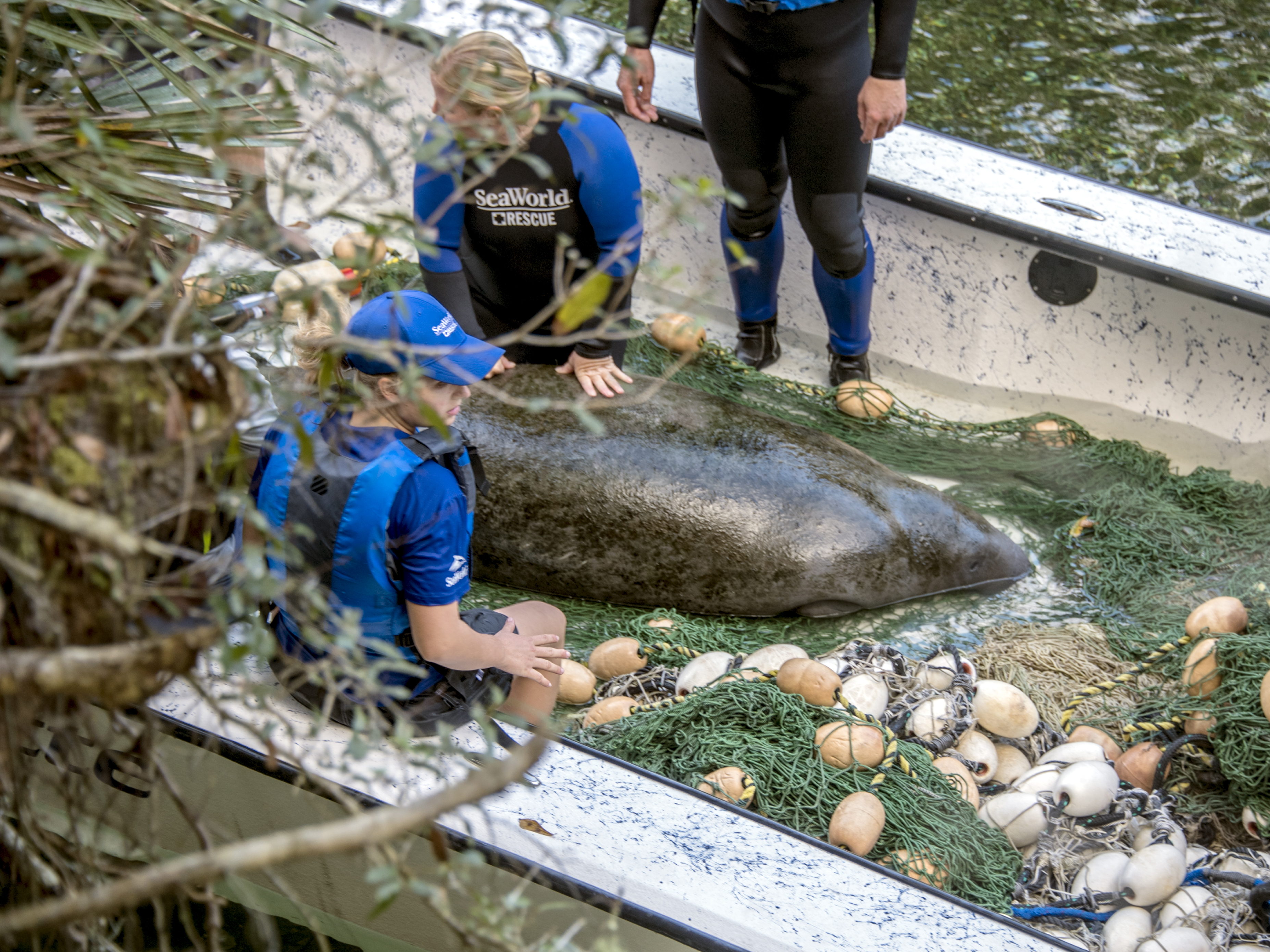 A SeaWorld rescue operations team finds a sick manatee in need of rehabilitation. Bethany Bagley/Courtesy SeaWorld