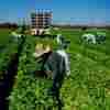 Supreme Court Hands Farmworkers Union A Major Loss