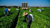 Farmworkers harvest curly mustard in a field on Feb. 10 in Ventura County, Calif. The Supreme Court handed the farmworkers union a loss Wednesday in a ruling about union organizers' access to farm property.