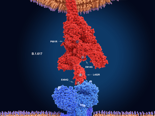 The numerals in this illustration show the main mutation sites of the delta variant of the coronavirus, which is likely the most contagious version. Here, the virus's spike protein (red) binds to a receptor on a human cell (blue). New research sheds light on what makes this variant so transmissible.